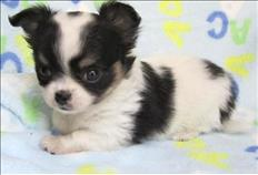 Playful Chihuahua Puppies