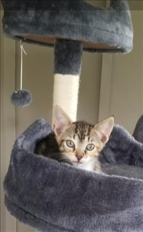 7 Week Old Tabby Kittens For Rehoming