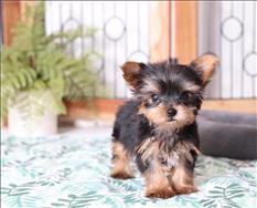 Gorgeous Tiny Yorkie Puppies For Adoption