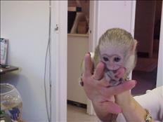 Squirrel monkeys,Capuchin,Spider monkeys,chimpanzees