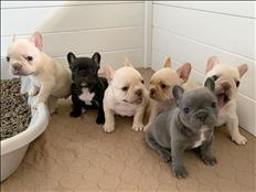 Super adorable French Bulldog Puppy