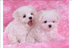 Friendly Teacup Maltese puppies