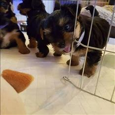 Yorkie puppies ready and available for re-homing.