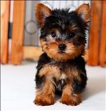 AKC Yorkshire Terrier (Yorkie) Text :(551) 888 -3483