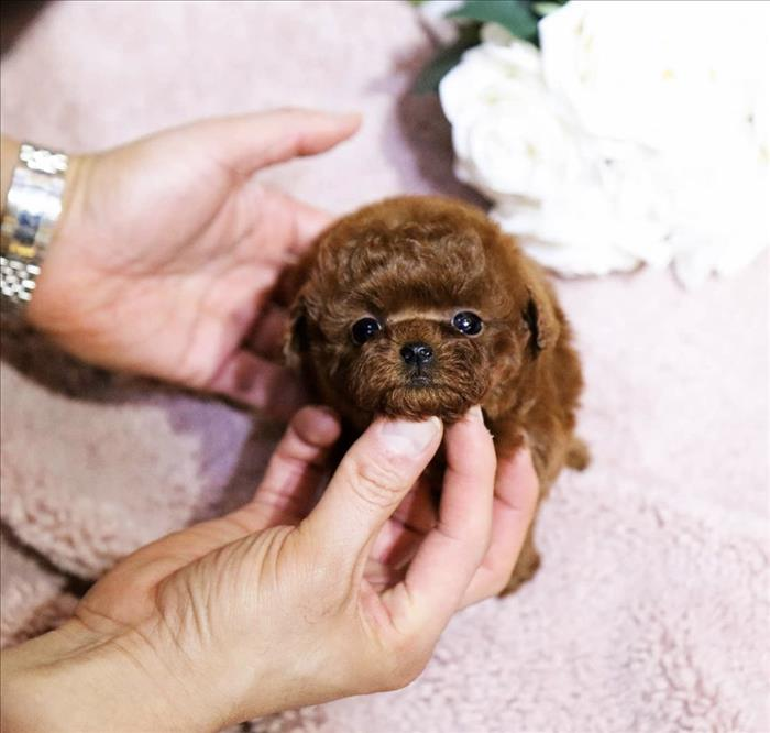 Cute Poodle Teacup Puppies For Sale