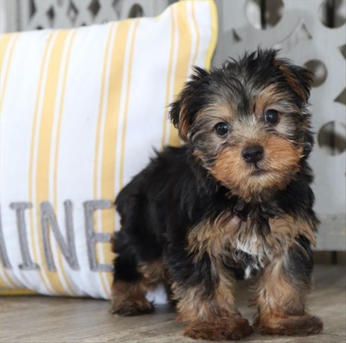 AKC Yorkshire Terrier (Yorkie) Text :(551) 888 -3483