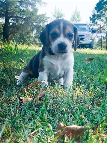 Adorable Beagle Puppies Looking For A Great Home!