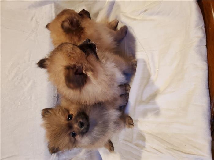 Puppies Fluffy  Poms