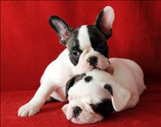 Beautifull French Bulldog puppies