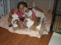 5 English Bulldog puppies for adoption