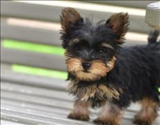 Super tiny teacup male and female  Yorkie for sale