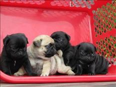 Gorgeous pug puppies available for adoption