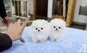 Lovely Pomeranian Puppies For Your Home