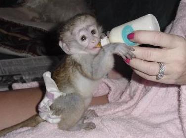 Healthy Twin Capuchin Monkeys Available