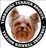 Venta de Yorkshire Terrier