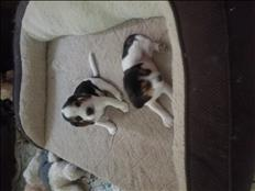 Venta de beagles
